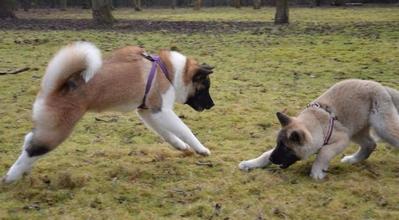 chien attaque poule